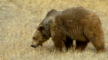 A Grizzly Bear Sniffing The Grass Around Him