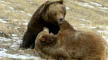 Two Grizzly Bears Playing And Wrestling Each Other