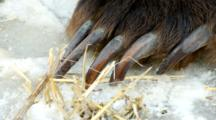 The Front Claws Of A Grizzly Bear Paw