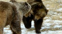 Two Grizzly Bears Sizing Each Other Up Then Walking Away