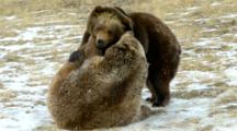 Two Grizzly Bears Playing With Each Other