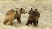 Two Grizzly Bears Sniffing Each Other