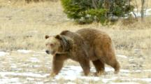 A Grizzly Bear Walking At A Fast Pace