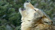 Grey Wolf Howling To Pack Members In Winter Snowstorm