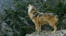 Grey Wolf Howling To Pack Members During Winter Snowstorm