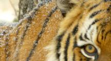 A Siberian Tiger Watches Movement During A Snowstorm