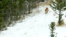 A Mountain Lion Walks Down A Hill During A Snowstorm