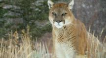 A Mountain Lion Watches Intently During A Snowstorm