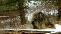 A Porcupine Shivers On A Snow Covered Log In The Cold Of Winter