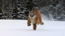 Mountain Lion Running In Winter Snow