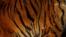 Endangered Siberian Tiger Closeup Of Fur In Winter Snow