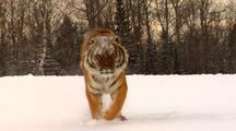 Endangered Siberian Tiger Running In Winter Snow