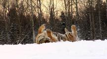 Endangered Siberian Tiger Playing In Winter Snow