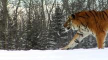 Endangered Siberian Tiger Running In Winter Snow