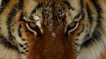 Endangered Siberian Tiger Closeup In Winter Snow