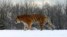 Endangered Siberian Tiger Walking In Winter Snow