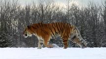 Endangered Siberian Tiger Walking In Winter Snow