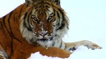 Endangered Siberian Tiger Resting In Winter Snow