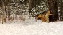 Wolf, Wolves Urinating Scent Marking