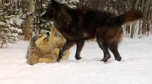 Wolf, Wolves Interaction