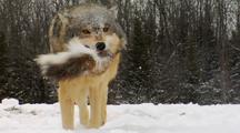 Wolves, Wolf Playing With Whitetail Deer Tail From Kill