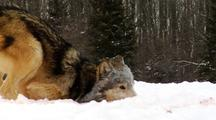 Wolves, Wolf Grooming, Cleaning Face In Snow