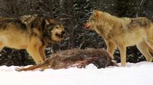 Wolves, Wolf Pack Feeding On Carcasss Of Whitetail Deer