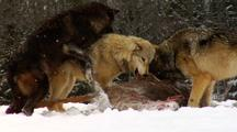 Wolves, Canis Lupus, Wolf Pack Feeding On Carcass Of Whitetail Deer