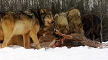 Wolves, Wolf Pack Feeding On Carcass Of Whitetail Deer