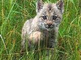 Baby Lynx Play Stalking In Tall Grass