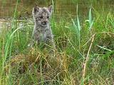 Baby Canadian Lynx Play Stalking In Tall Grass