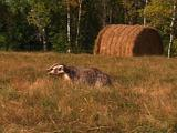 Badger Foraging For Food Near Its Burrow