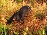 Black Bear In Fall Colors Walks Through The Tall Grass Towards A Pond