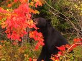Black Bear In Fall Colors Pulls Down Tree Branch