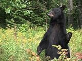 Black Bear Stands Up In Fall Colors