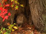 Bobcat In Autumn Colors Looks Around From Inside A Hollow Tree