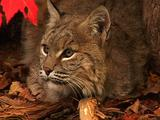 Bobcat Listens And Turns Ears In Autumn Colors
