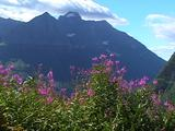 Alpine Flowers Blooming, Going To The Sun Highway, Glacier National Park