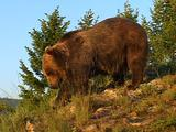 Grizzly Bear Turns Over Rock Foraging For Food