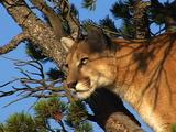 Mountain Lion In Pine Tree, Hunting