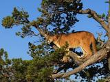 Mountain Lion In Pine Tree