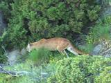 Mountain Lion Hunting In Rocky Mountains