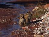 Pair Of Baby Mountain Lions Playing In Small Creek