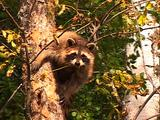 Raccoon Looking Out From Tree