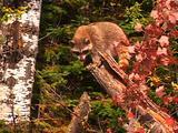 Raccoon On Log
