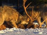 Wolves, Wolf Pack Feed On Elk In Winter Snow