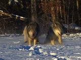 Wolf, Wolves Running  In Snow