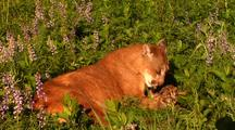 Female Mountain Lion Grooms Kitten In Grass.