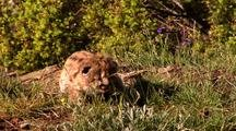Mountain Lion Kitten In Grass