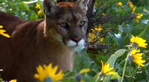 Mountain Lion Moving Through Wildflowers